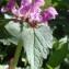 Genevieve Botti - Lamium maculatum (L.) L.