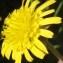 Genevieve Botti - Scorzonera laciniata L.