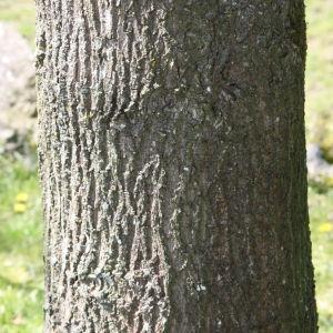 Photographie n°114077 du taxon Quercus robur L. [1753]