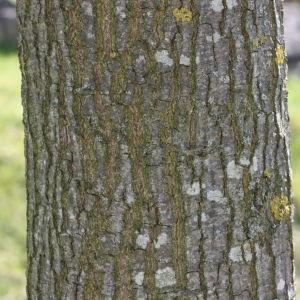 - Quercus cerris L. [1753]