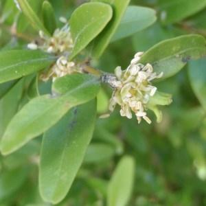 Photographie n°114215 du taxon Buxus sempervirens L.