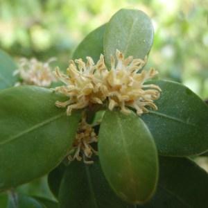 Photographie n°114216 du taxon Buxus sempervirens L.