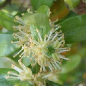 Photographie n°114217 du taxon Buxus sempervirens L. [1753]