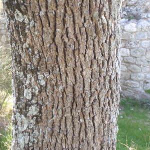 Photographie n°114218 du taxon Quercus pubescens Willd. [1805]