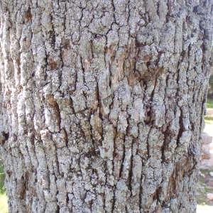 Photographie n°114219 du taxon Quercus pubescens Willd. [1805]
