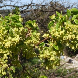 Photographie n°114220 du taxon Acer monspessulanum L. [1753]