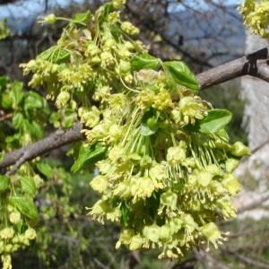 Photographie n°114221 du taxon Acer monspessulanum L. [1753]