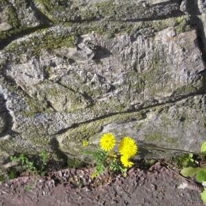 Photographie n°114255 du taxon Crepis sancta subsp. nemausensis (Vill.) Babc. [1941]