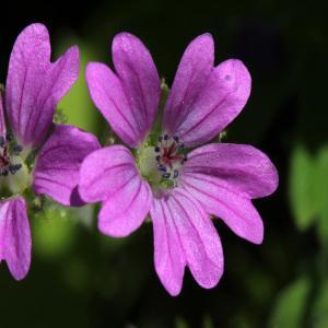 Geranium molle L. (Géranium à feuilles molles)