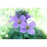 Cardamine pratensis L. subsp. pratensis (Cardamine des prés)