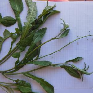 Photographie n°114406 du taxon Capsella bursa-pastoris subsp. bursa-pastoris