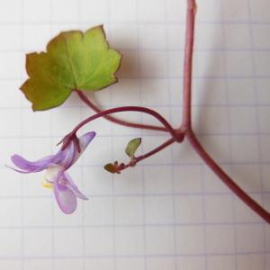 Photographie n°114413 du taxon Linaria cymbalaria (L.) Mill. [1768]