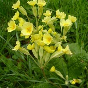Primula elatior (L.) Hill subsp. elatior (Primevère des bois)