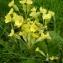 Mathieu Sinet - Primula elatior subsp. elatior