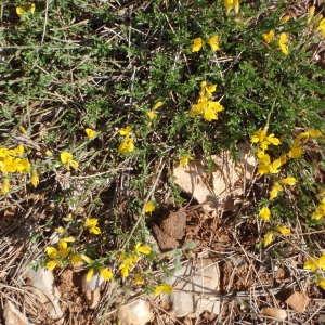 Genista pulchella Vis. [1830, Flora, 13 : 51] (image CeL)