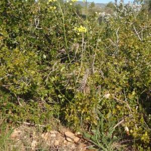 Photographie n°114544 du taxon Biscutella laevigata subsp. coronopifolia (L.) Rouy & Foucaud