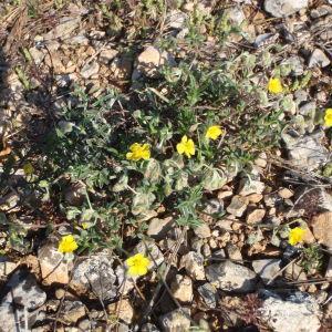 Photographie n°114559 du taxon Helianthemum oelandicum var. canum (L.) Neilr. [1866]