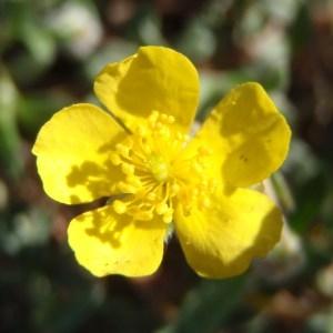 Photographie n°114560 du taxon Helianthemum oelandicum var. canum (L.) Neilr. [1866]
