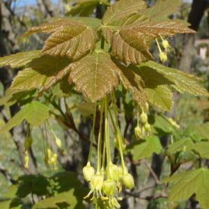 Photographie n°114564 du taxon Acer pseudoplatanus L.