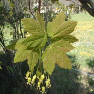 Photographie n°114565 du taxon Acer pseudoplatanus L.