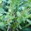 Genevieve Botti - Euphorbia peplus var. peploides (Gouan) Vis. [1852]