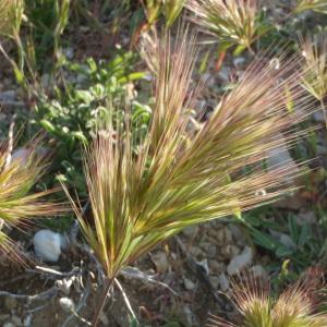 Bromus diandrus var. madritensis (L.) DC. (Brome de Madrid)