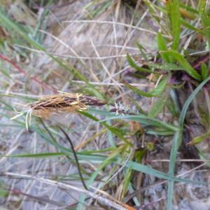 Photographie n°114707 du taxon Carex flacca Schreb. [1771]