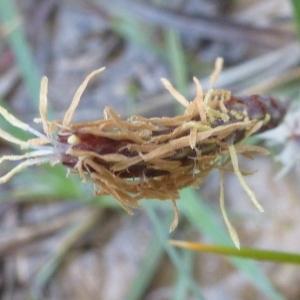 Photographie n°114709 du taxon Carex flacca Schreb. [1771]