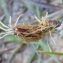 Louise Boulangeat - Carex flacca Schreb. [1771]