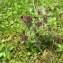 Pierre Le Gall - Parentucellia latifolia