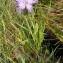 Alain Bigou - Dianthus hyssopifolius subsp. hyssopifolius