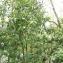 Mathieu Sinet - Prunus laurocerasus