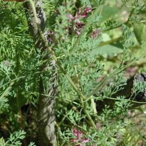 Photographie n°114764 du taxon Fumaria ?