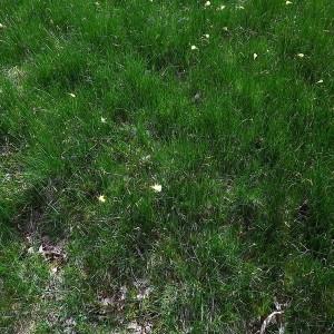 - Narcissus bulbocodium subsp. citrinus (Baker) Fern.Casas [1982]