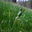 Florent Beck - Narcissus bulbocodium subsp. citrinus (Baker) Fern.Casas [1982]