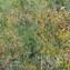Florent Beck - Cirsium defloratum (L.) Scop. [1772]