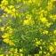 Florent Beck - Brassica napus L. [1753]
