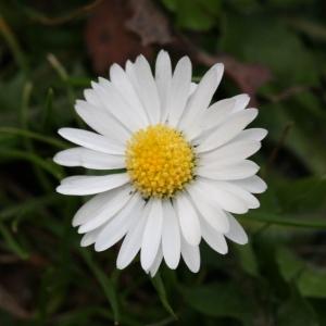 Photographie n°114985 du taxon Bellis perennis L.