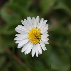 Photographie n°114987 du taxon Bellis perennis L.