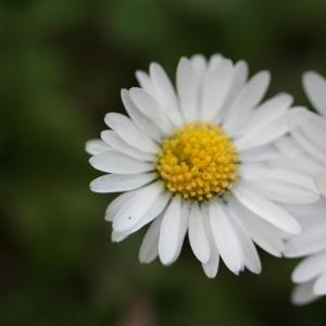 Photographie n°114993 du taxon Bellis perennis L.