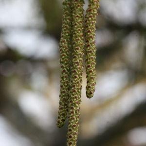 Betula pendula Roth (Bouleau pendant)