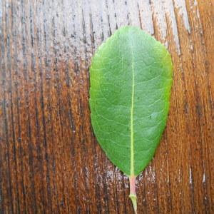 Photographie n°115051 du taxon Arbutus unedo L. [1753]