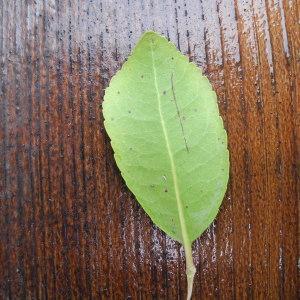Photographie n°115053 du taxon Arbutus unedo L. [1753]
