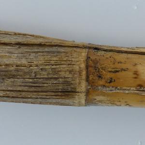 Photographie n°115086 du taxon Arundo donax L. [1753]