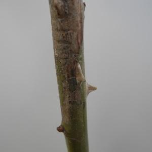 Photographie n°115103 du taxon Rosa canina L. [1753]