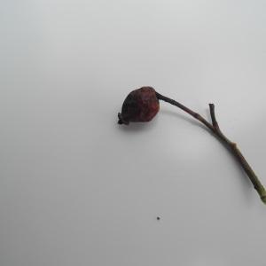 Photographie n°115122 du taxon Rosa canina L. [1753]