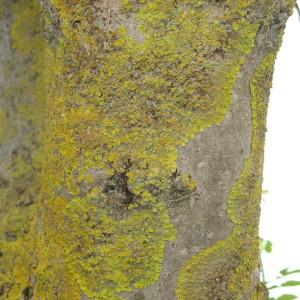 Photographie n°115138 du taxon Fraxinus L.