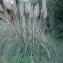 Florence BREGEON-CLAVAGUERA - Cortaderia selloana (Schult. & Schult.f.) Asch. & Graebn. [1900]