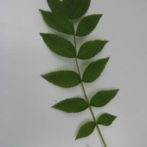 Photographie n°115150 du taxon Fraxinus L.