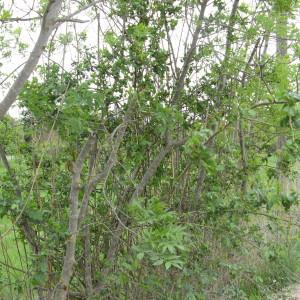 Photographie n°115162 du taxon Rosa L.